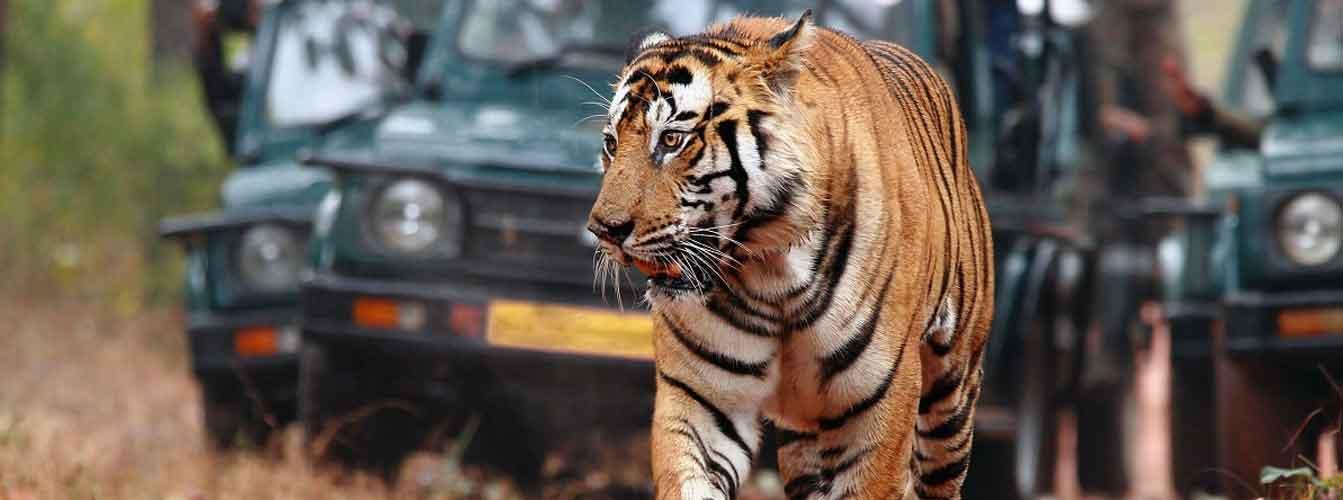 banner-tiger